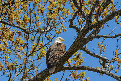 Photograph - Bald Eagle In April by Jai Johnson