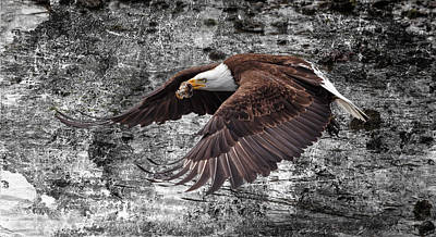 Photograph - Bald Eagle In Flight by Wes and Dotty Weber