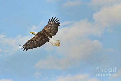 Photograph - Bald Eagle In Flight by Jai Johnson