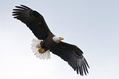 Photograph - Bald Eagle In Flight by Jane Axman