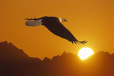 Bald Eagle In Flight Sunset Over Mtn Art Print