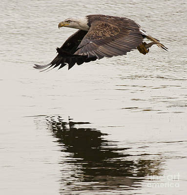Photograph - Bald Eagle In Flight by Ursula Lawrence