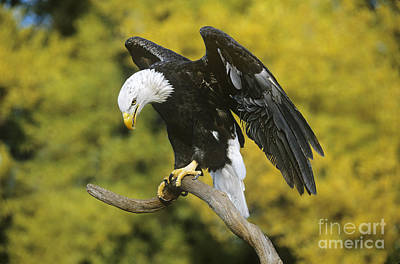 Photograph - Bald Eagle In Perch Wildlife Rescue by Dave Welling
