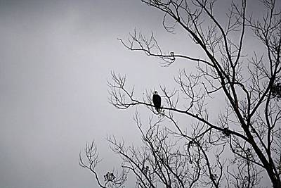 Photograph - Bald Eagle In Tree by Donna G Smith