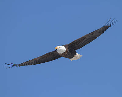 Photograph - Bald Eagle by Jack R Perry