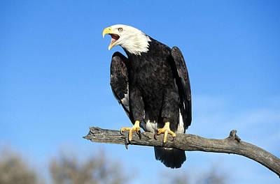Eagle Photograph - Bald Eagle by Jeffrey Lepore