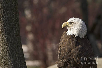 Photograph - Bald Eagle by Jim West