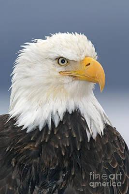 Accipitridae Photograph - Bald Eagle by Jim Zipp