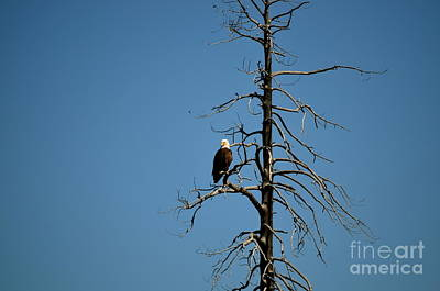 Photograph - Bald Eagle  by Johanne Peale