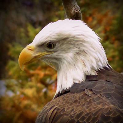 Photograph - Bald Eagle by Joseph Skompski