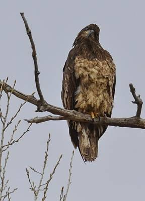 Photograph - Bald Eagle- Juvenile- On A Limb Ec by Rae Ann  M Garrett