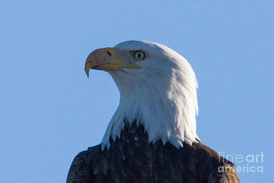 Photograph - Bald Eagle by Kati Tomlinson