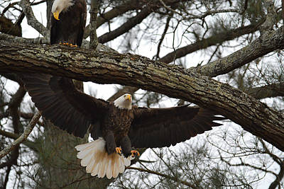 Photograph - Bald Eagle Landing In A Tree by Jai Johnson