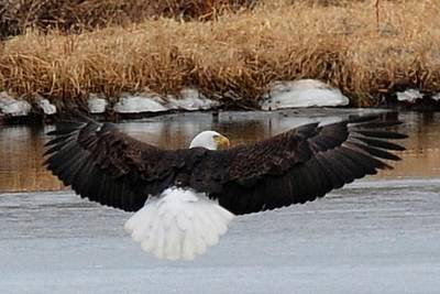 Photograph - Bald Eagle - Landing On Ice by Marilyn Burton