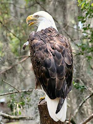 Lisa Williams Photograph - Bald Eagle by Lisa Williams