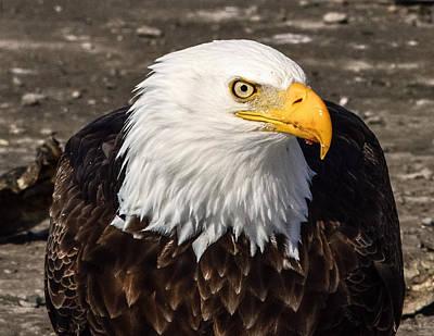Bald Eagle Looking At You Art Print