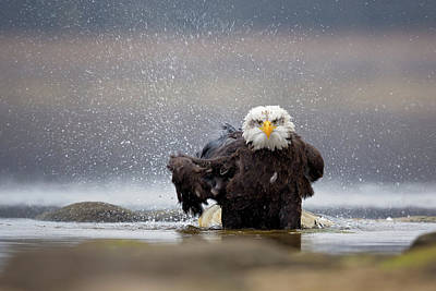 Bathing Photograph - Bald Eagle by Milan Zygmunt