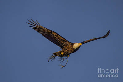 Photograph - Bald Eagle Nesting by Barbara Bowen