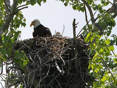 Eagle Photograph - Bald Eagle Nesting by Dan Sproul