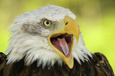 Yellow Eyes Photograph - Bald Eagle by Nigel Downer