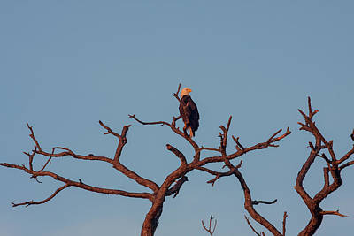 Photograph - Bald Eagle On Bare Tree by Karen Stephenson