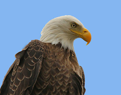 Photograph - Bald Eagle On Blue by Ira Runyan