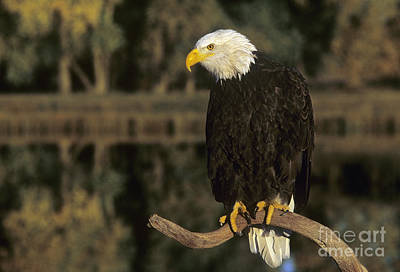Photograph - Bald Eagle On Dead Snag Wildlife Rescue by Dave Welling