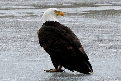 Photograph - Bald Eagle On Frozen Lake by Marilyn Burton
