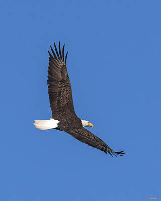 Photograph - Bald Eagle Over Pohick Bay Drb150 by Gerry Gantt