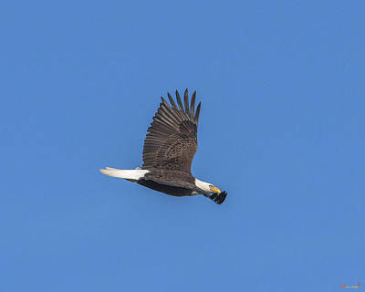 Photograph - Bald Eagle Over Pohick Bay Drb151 by Gerry Gantt