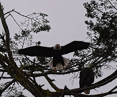 Photograph - Bald Eagle Pair by Lawrence Christopher