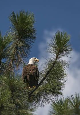 Bald Eagle Photograph - Bald Eagle Panting by Loree Johnson