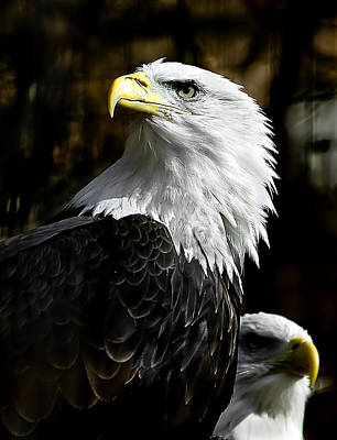 Photograph - Bald Eagle by Patrick Boening