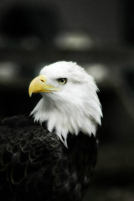 Bald Eagle Art Print by Peggy Franz