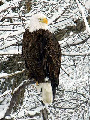 Art Print featuring the photograph Bald Eagle by Penny Meyers