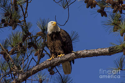 Photograph - Bald Eagle Perched by Barbara Bowen