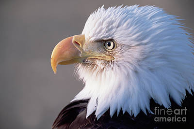 Photograph - Bald Eagle Portrait Alaska by Yva Momatiuk and John Eastcott