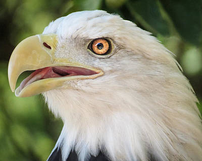 Photograph - American Bald Eagle Portrait - Bright Eye by Patti Deters