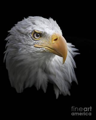 Photograph - Bald Eagle Portrait by Jacki Soikis
