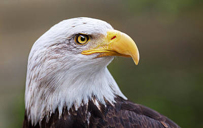 Photograph - Bald Eagle Portrait by Nathan Mccreery