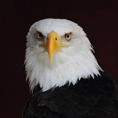 Photograph - Bald Eagle Portrait by Randy Hall