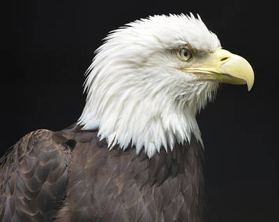 Photograph - Bald Eagle Profile 2 by Richard Bryce and Family