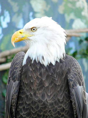 Photograph - Bald Eagle Profile by Charlie and Norma Brock