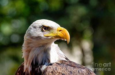 Eagle Photograph - Bald Eagle Profile by Les Palenik