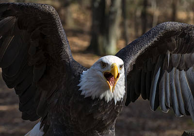 Featured Images Digital Art - Bald Eagle Protecting Its Meal by Chris Flees