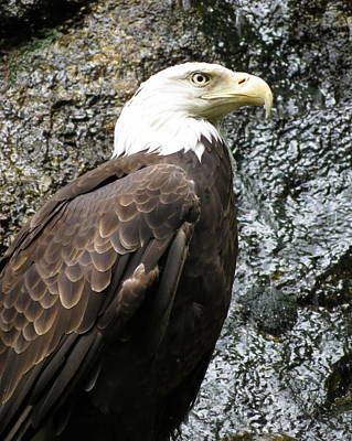 Photograph - Bald Eagle by Ramona Johnston