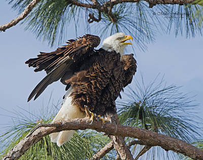 Photograph - Bald Eagle Shimmy by Mike Fitzgerald