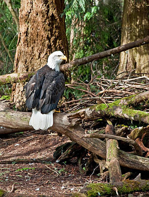 Photograph - Bald Eagle Sitting On Branches by Valerie Garner