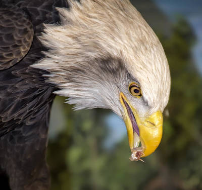 Bald Eagle Snacks Art Print by Bill Tiepelman