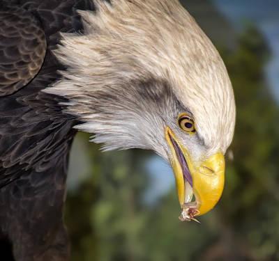 Bald Eagle Snacks Print by Bill Tiepelman